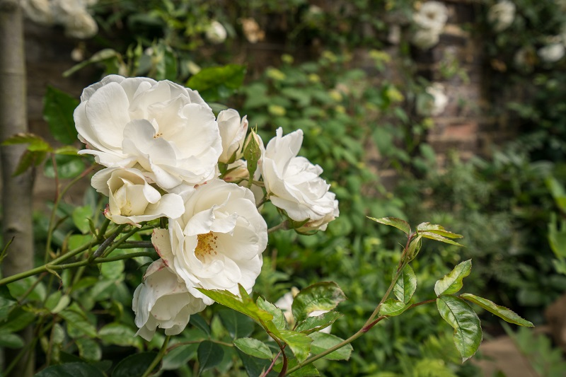 Iceberg roses cover the fences and walls