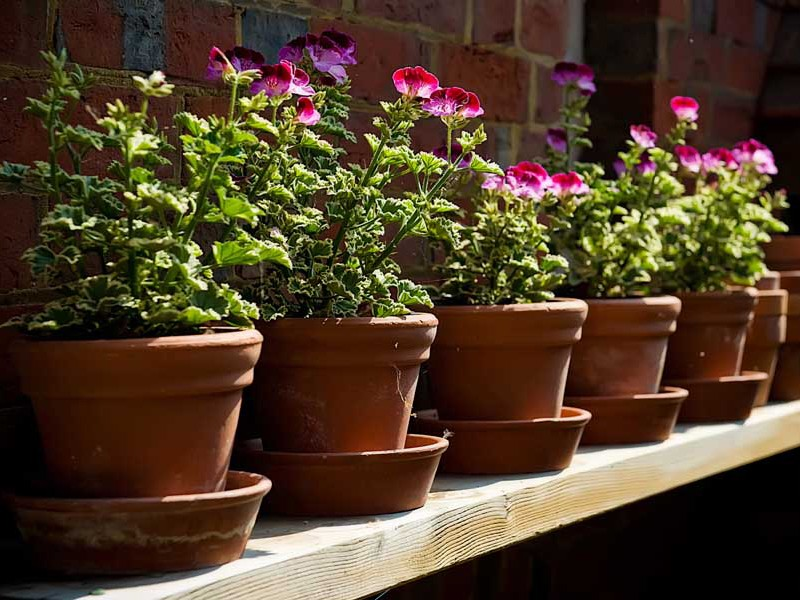 Geraniums in old pots